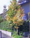P220_pseudo-camellia.jpg