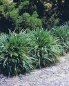 P396_platyphylla.jpg